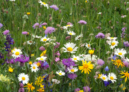 A close up photo of a wildflower meadow including purple, white and yellow flowers.